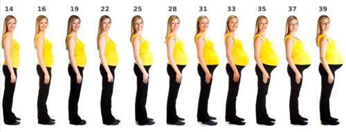 Количество недель беременности