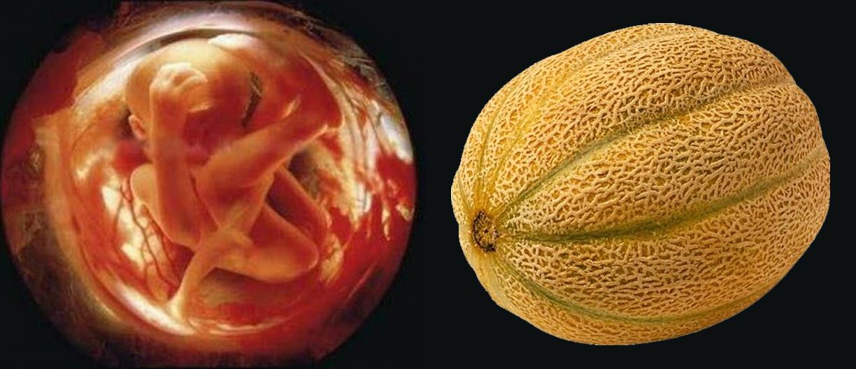 Плод и дыня